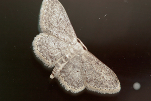 Idaea seriata, Cambridge