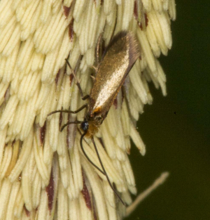 Micropterix calthella, Bradfield Woods, Felsham, Suffolk, England