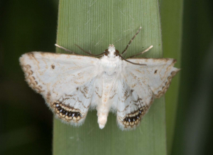 Cataclysta lemnata, Wicken Fen