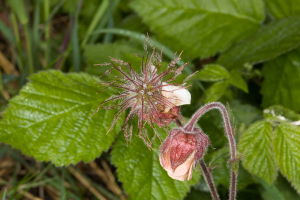 Geum rivale, Lower Wood, Weston Colville