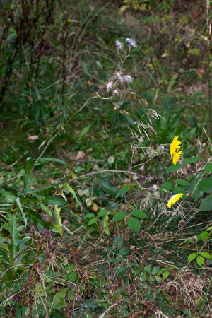 Sonchus arvensis, Southey Wood