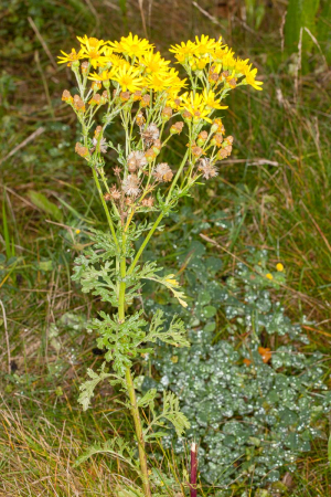 Senecio jacobaea, Waresley Wood