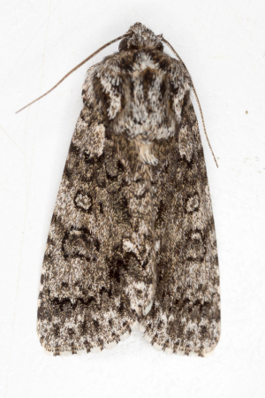 Acronicta rumicis, Garden Walk, Cambridge, Cambridgeshire, England