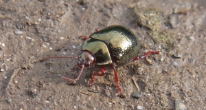 Metallic green & red beetle