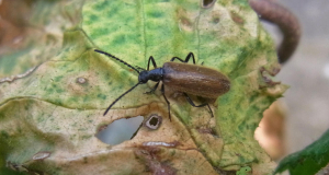 Brown beetle-longhorn?
