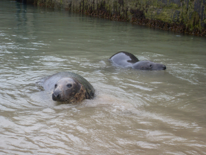 cornish seals