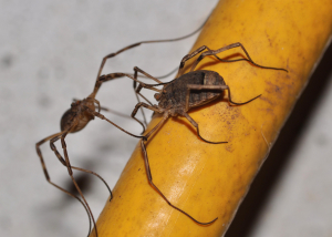 harvestmen mating?