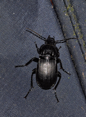 unknown beetle