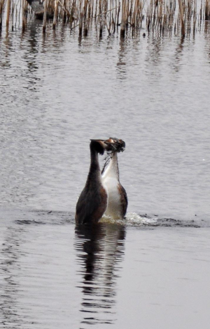 Great Crested Grebe ( Podiceps cristatus )