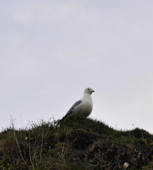 unknown gull