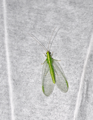 type of lacewing