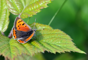 small coppper (lycaena virgaureae)