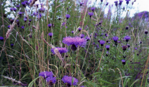 Uncommon Knapweed