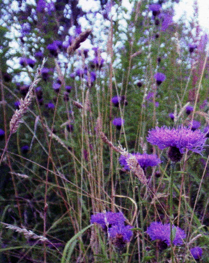 Updates to unusual Knapweed spp.