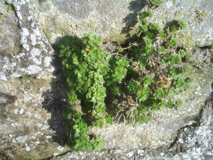 On an old, south facing stone wall