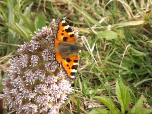 Small Tortoiseshells are now out in force