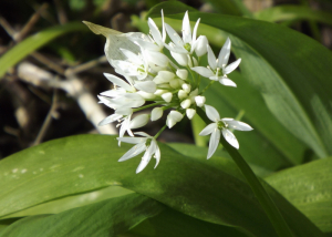 What a difference a day makes! Ramsons now in flower
