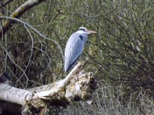 Heron on an elevated watch