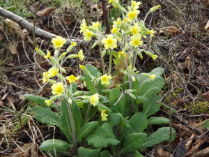 False Oxlip?