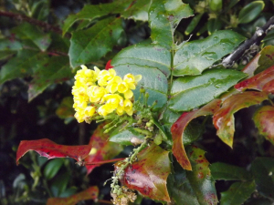 This looks like a Mahonia to me