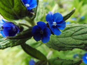 Green Alkanet (close-up of flowers)