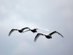 Three Swans flying down river