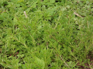 Cleavers (2)