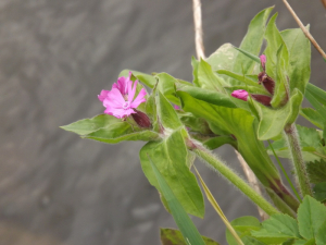 Red Campion growing just above the river
