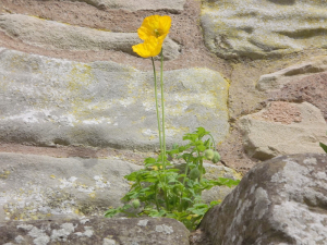 Welsh Poppy high on a wall