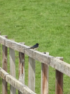 My first Swallow this year