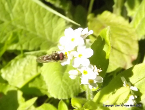 Forget-me-not with some kind of fly