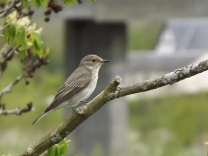 Another Flycatcher!