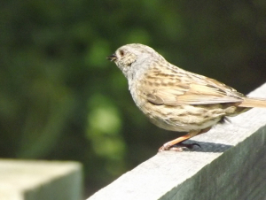 Dunnock on fence