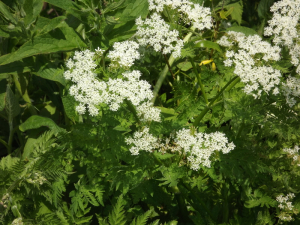 Sweet Cicely?