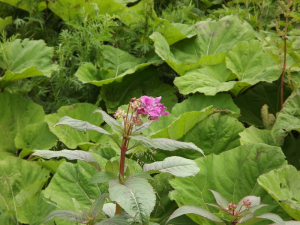 Himalayan Balsam (first flowers)