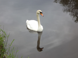 Mute Swan reflected