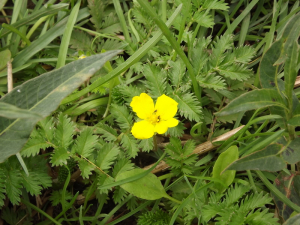 Silverweed flower