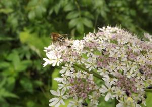 Another kind of hoverfly - or a bee?