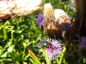 Some kind of bluey/green fly