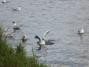 Black-headed gulls