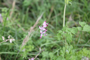 Common Fumitory?