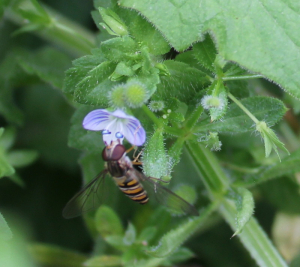 Insect on speedwell