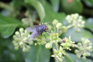 A Fly of some kind