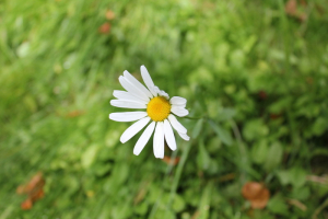 Late-flowering Oxeye Daisy