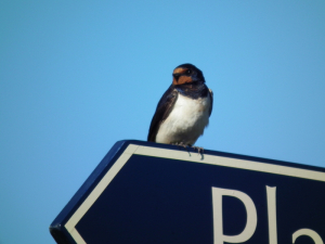 A lost Swallow
