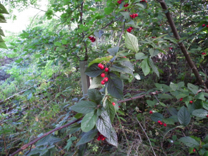 Cotoneaster?