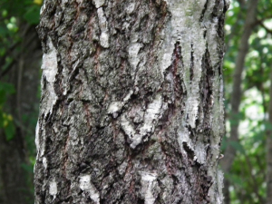 Silver Birch (Trunk/Bark)