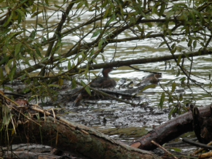 Dabchick resting in slack water during river flood