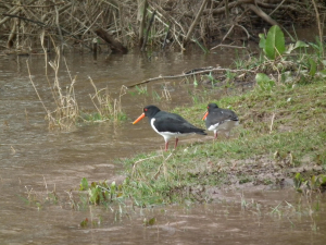 Oystercatchers on flooded riverbank