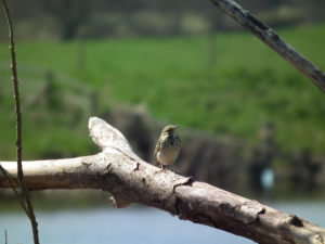 Flycatcher?